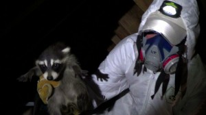 wildlife control service technician hold a baby raccoon