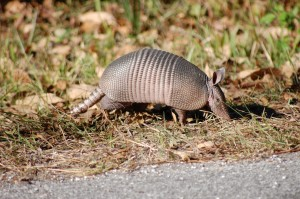 armadillo on edge of road