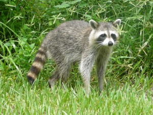 adult raccoon