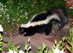 striped skunk eating