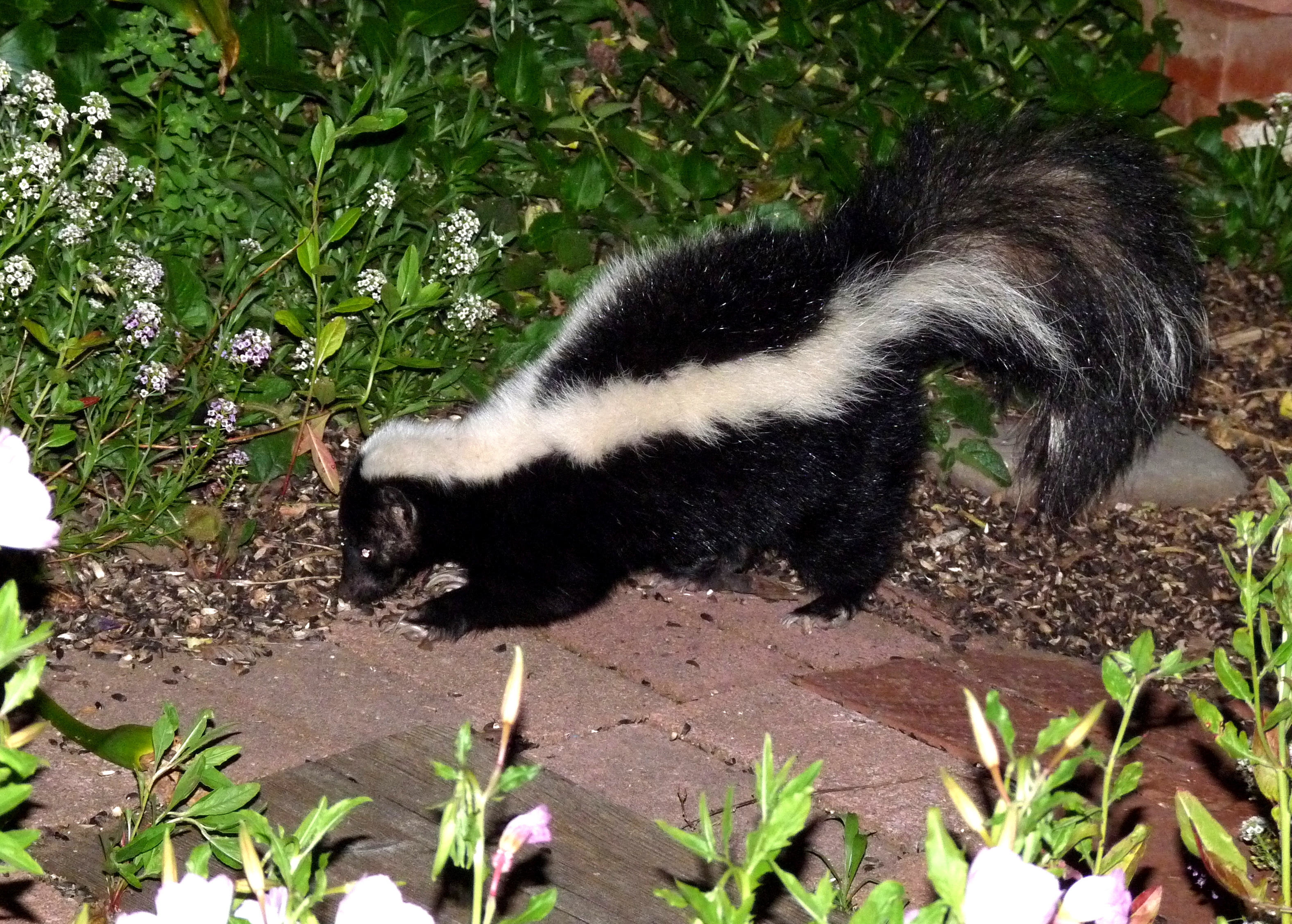 Skunk Removal Tips For Homeowners Effective Wildlife