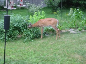 white-tailed deer in garden