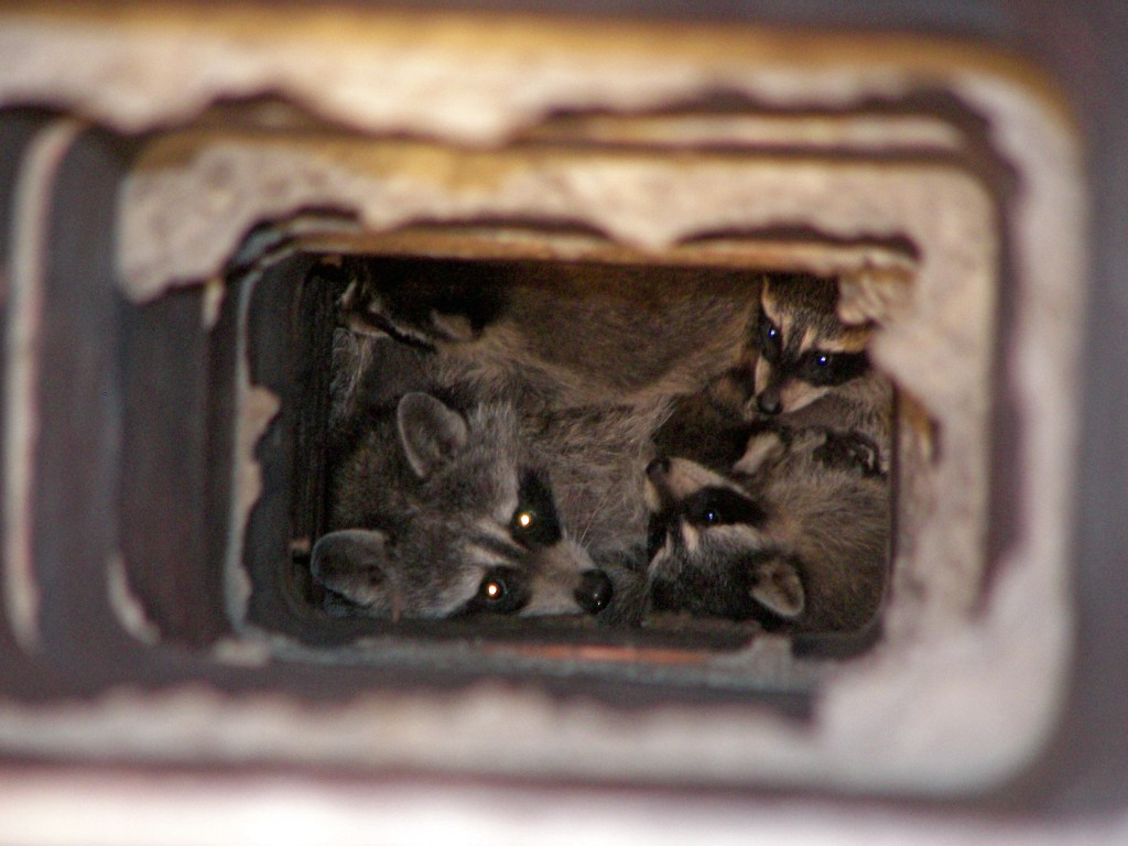What To Do About A Raccoon In Your Chimney Effective
