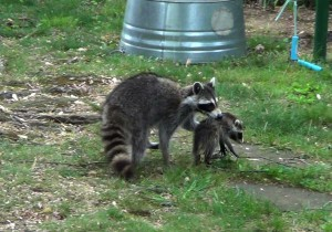 raccoon mother and kit
