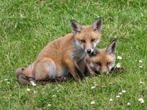 Want to Know More About Foxes?