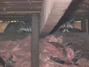 Looking for Tips on Raccoon Removal?