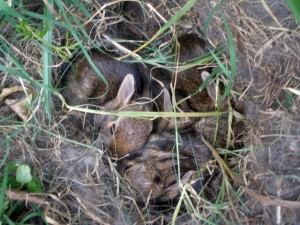 Did You Find a Nest of Baby Bunnies?