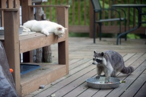 cat and raccoon