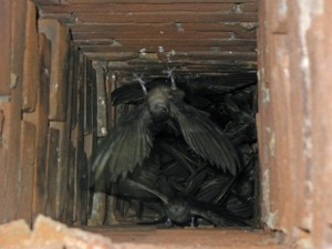 chimney swifts