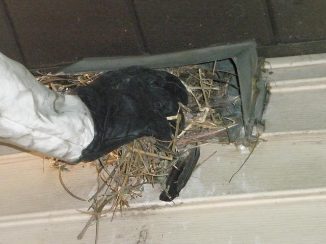 that noise may be a bird in a vent effective wildlife solutions