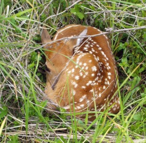 Is That Baby Deer Really Orphaned?