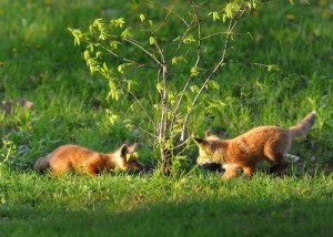 Looking to Get Rid of Foxes?