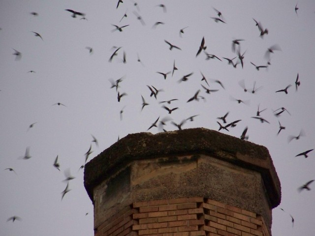 Bird In Chimney Could Be Migrating Chimney Swifts