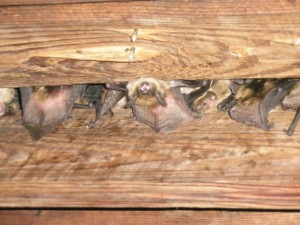 Bat Traps: How to Remove Bats from Buildings