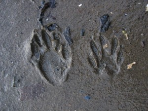 raccoon tracks in mud
