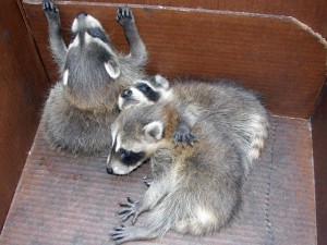 raccoon kits