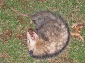 opossum playing 'possum