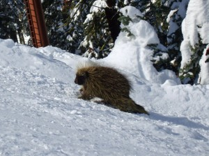 Porcupines in Winter