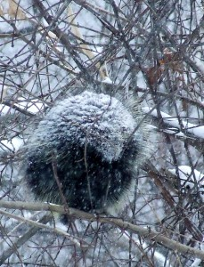 porcupine - snow covered