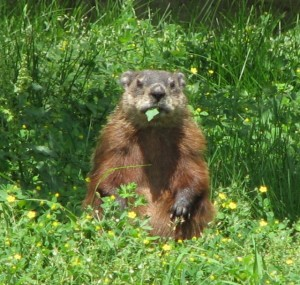 Looking to Get Rid of Woodchucks?