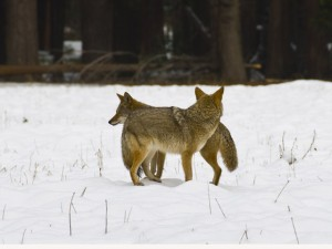 Coyote Love is in the Air