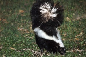 Skunks in Love on Valentine's Day