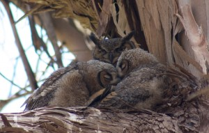 Great Horned Owls — early nesters and archenemies of crows