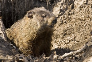Top Things to Know About Groundhog Removal