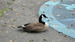 Canada goose and droppings