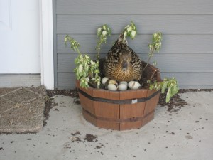 mallard duck planter nest