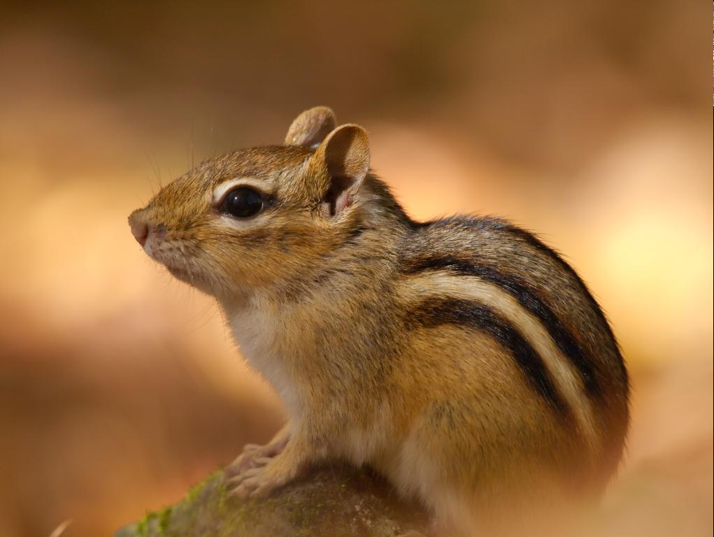 how to get tame a chipmunk
