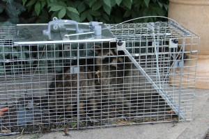 Raccoon Trap 101