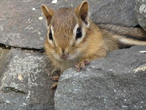 Smarter Ways to Get Rid of Chipmunks