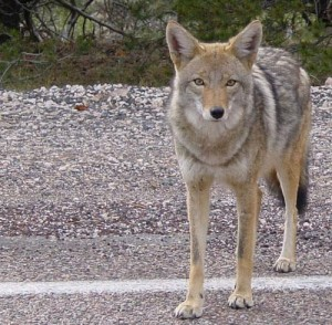 How to Get Rid of Coyotes in Your Yard