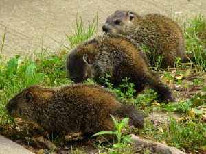 baby woodchucks