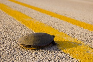 What to Do if You Find a <br>Turtle in the Road
