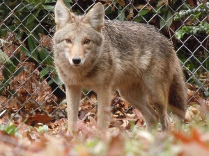 The Problem with Coyote Traps