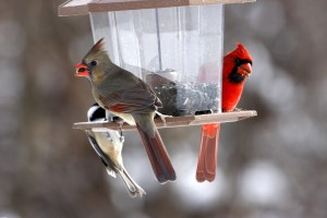 cardinals and chickadee on feeder