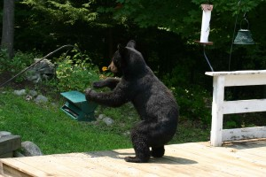 black bear at bird feeder