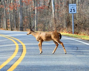 Safe Driving Tips to Avoid Collisions with Wildlife