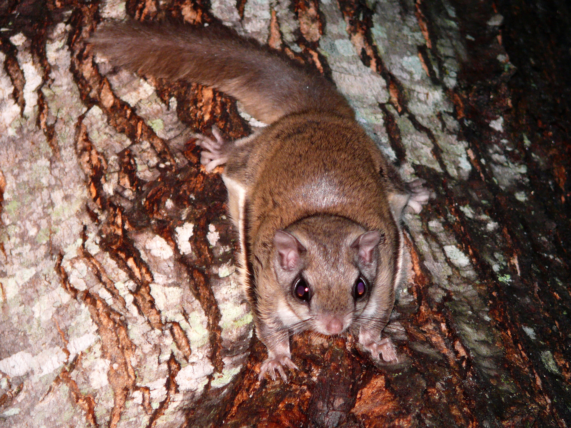 Hearing Flying Squirrels In House Effective Wildlife