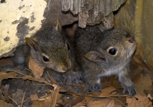 Late Summer Baby Squirrels