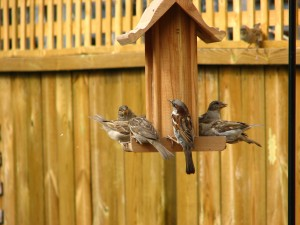 house sparrows at birdfeeder