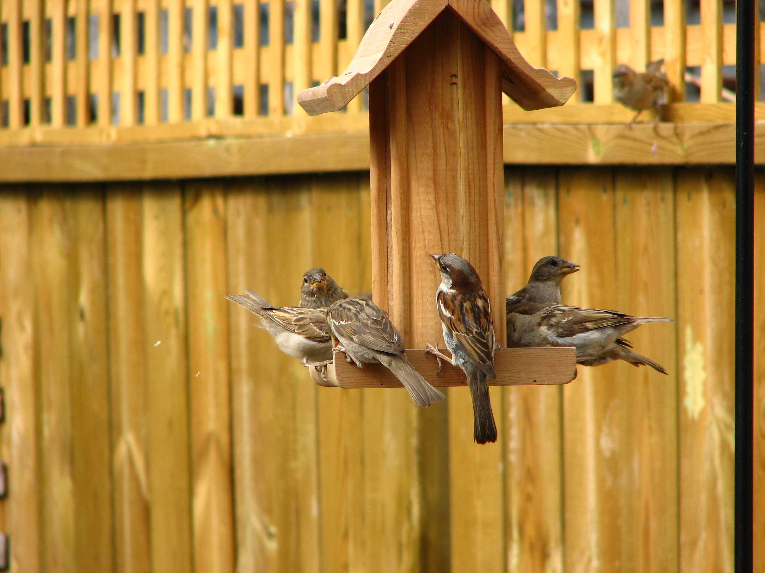 House Sparrow Nest Box House Sparrow Nest Boxes House