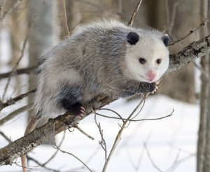 opossum in winter