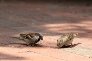 pair of european house sparrows