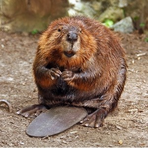 Need to Get Rid of Beaver?