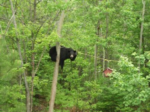 black bear and birdfeeder