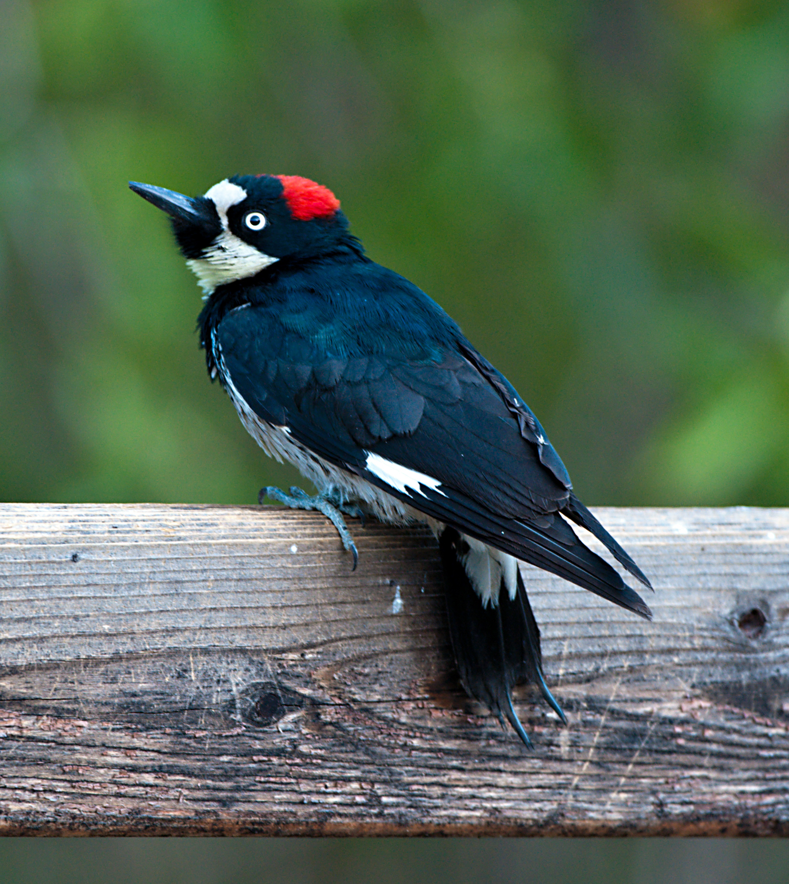 Solving Conflicts With Woodpeckers Effective Wildlife