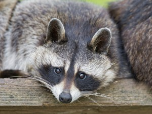 relaxing raccoon